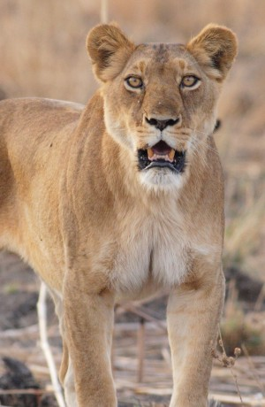 Vulnerable everywhere in the wild, lions already face ...