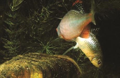 Fish mollies sex