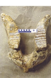 mammoth mandible