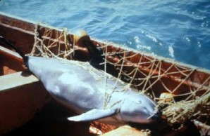 Dead Vaquita in Net