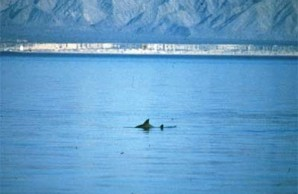 Vaquita Fin, which is pretty much as good as most people get to photographing one