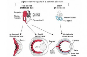 Light sensitive organs
