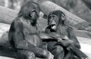 """bonobos exhibit """"play face"""""""