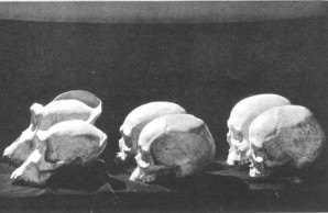 evolutionary changes in skulls
