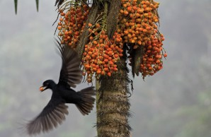 umbrellabird with fruit