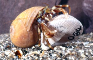 captive hermit crab