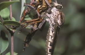Aerial Assassins | Natural History Magazine