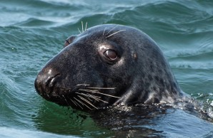 seal harbor dating site Scotland's gray seals harbor common human pathogen  evidence to date that  bacteria detected in a population of gray seals originated from.