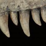 tyranosaurus teeth
