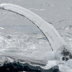 humpback whale and seal