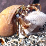 captive hermit crab